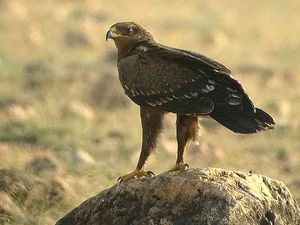 Greater-Spotted-Eagle