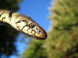 Grass_snake