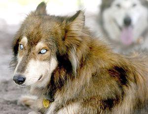 Wolf-dogHybrids